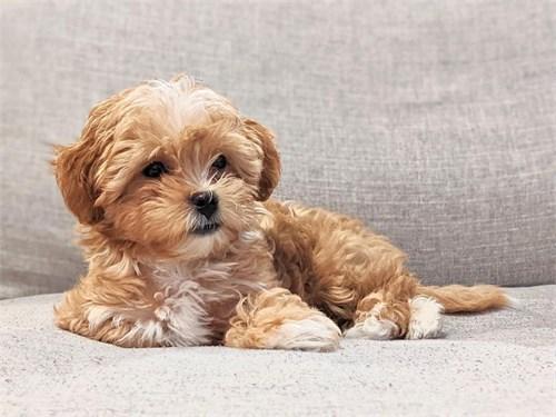 Adorable Malshi Puppy