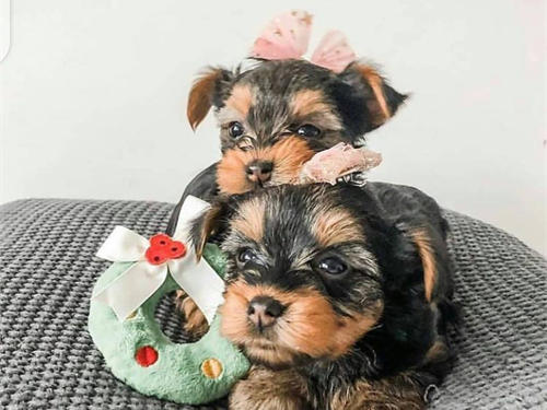 Male and female Yorkies