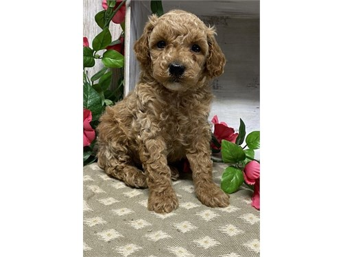 Toy Poodle Puppies Availa