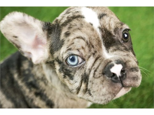 Merle French Bulldogs