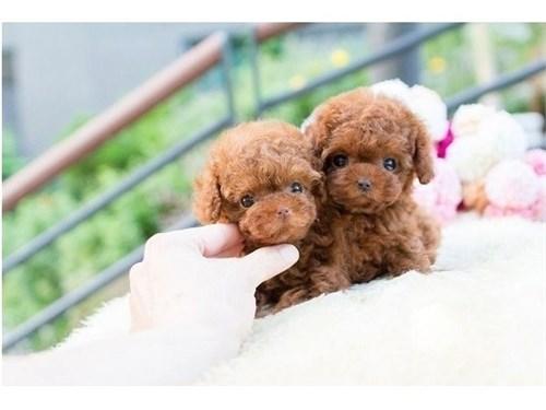 Micro Teacup Poodle Pups