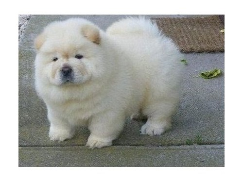 Healthy Chow Chow Pups