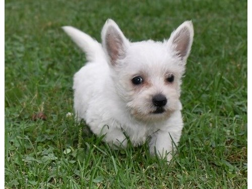 West Highland Terrier pup