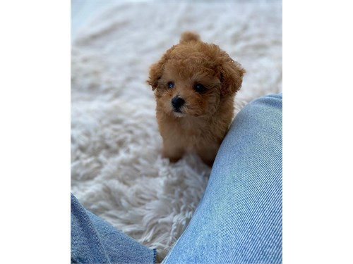 Toy Poodle Pups Ready
