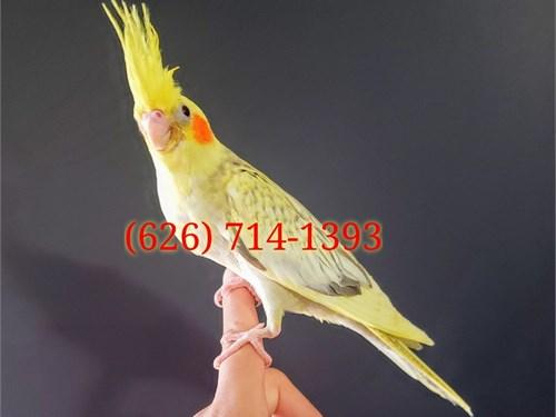 High Quality Cockatiels