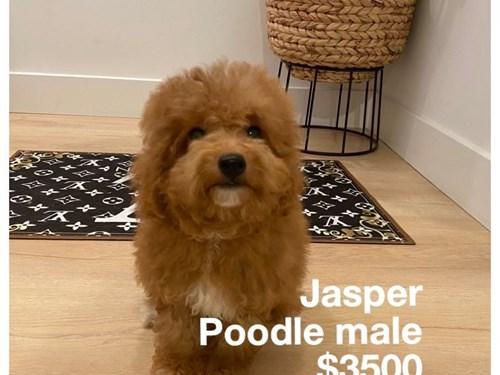 Jasper, Apricot Poodle