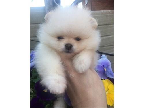 Nice Pomeranian Puppies