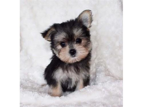 Mini Morkie Puppies