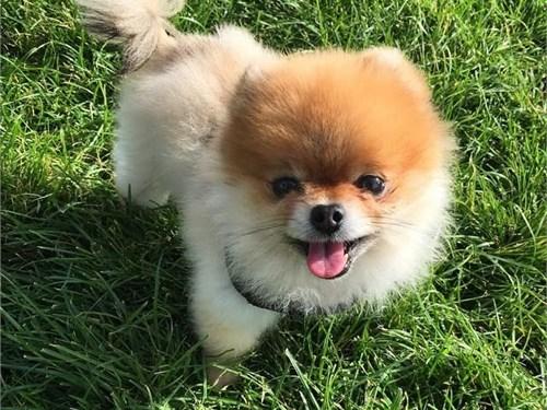 Male Pomeranian Puppies