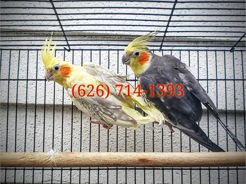 Breeding Cockatiel Pairs