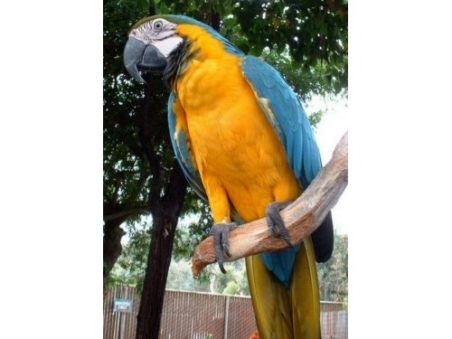 two male and female macaw