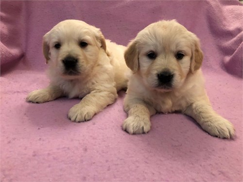 golden-retriever puppy