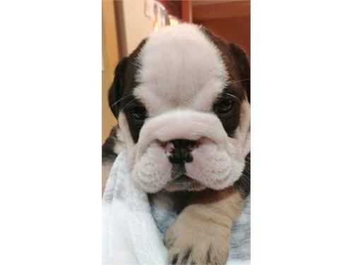 AKC English bulldogs pupp