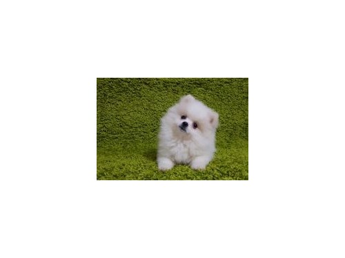 POMERANIAN PUPPIES AVAILA