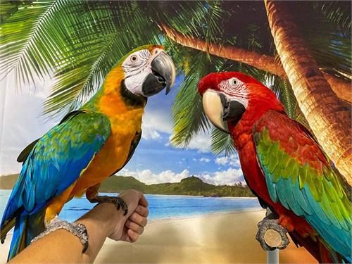 Tame Pair of Macaws