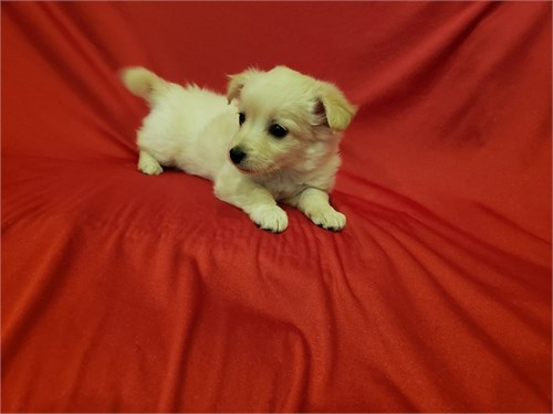Pomeranian/Maltese Female
