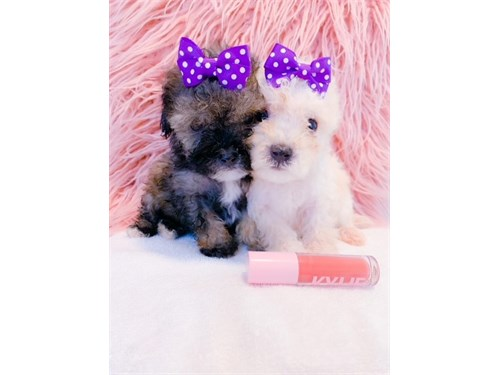 T-CUP MALTIPOO PUPPIES!