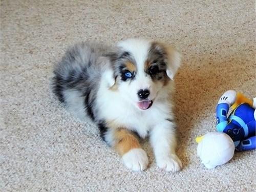Healthy Aussie Pups