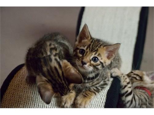 b.engal kittens