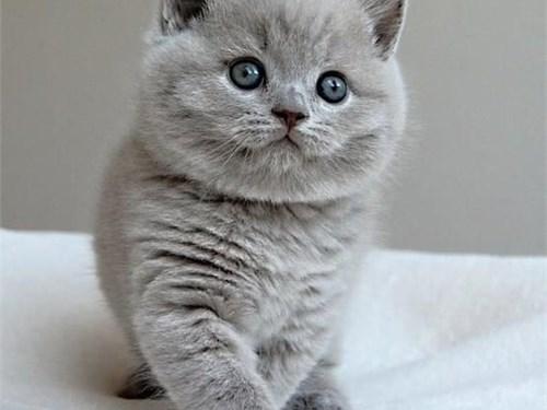 Britishshort Hair Kittens