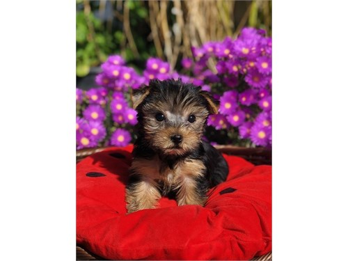 Yorkshire Terrier, Jelly