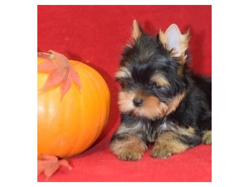 Small Size KC Yorkie Pups