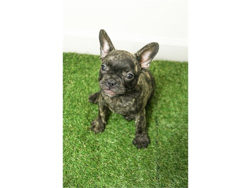 Merle French Bulldog pupp