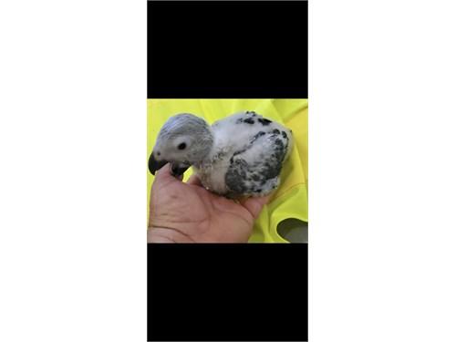 African grey baby handfeed