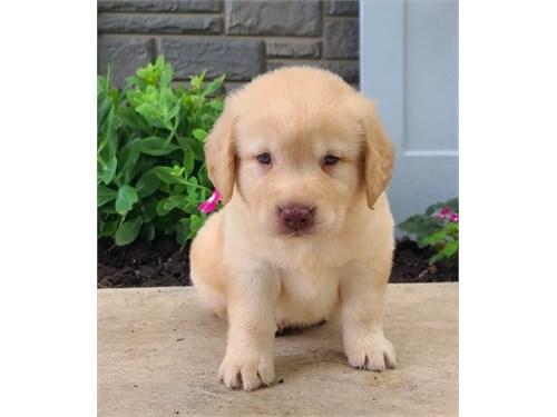 Labr@dor retr1ever pups