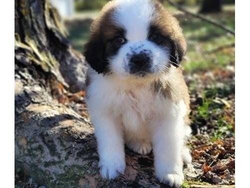 Reg Saint Bernard Puppies