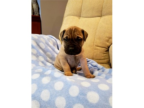 Sose Bullmastiff puppies