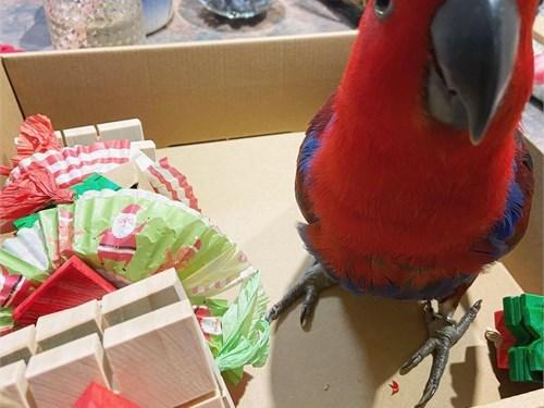 Amazing Eclectus Parrots