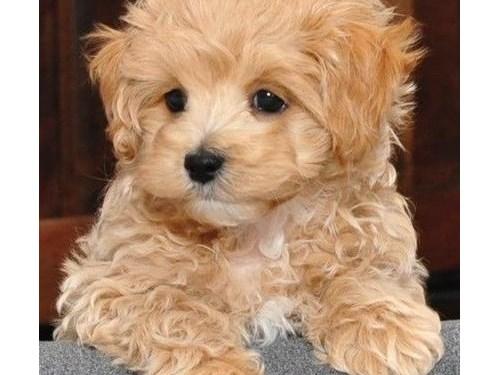 Malti Poo Puppies