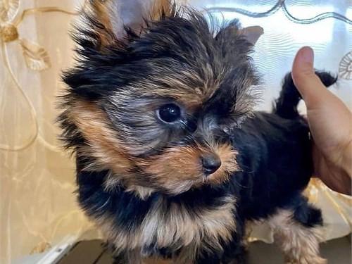 Yorkie pup home