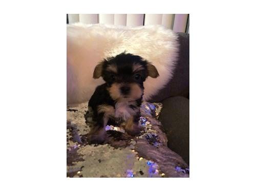 Tiny Yorkie Puppies