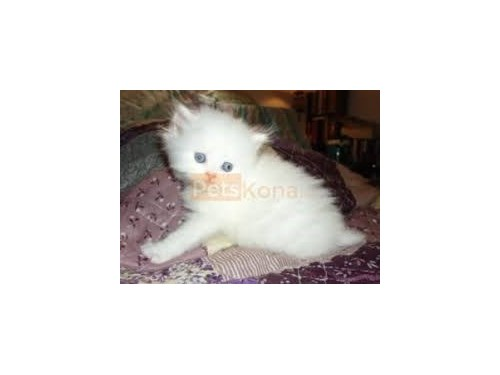 Persian kitten available