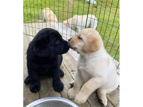 Labrador retriever puppie