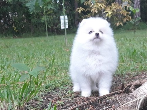 Baby Face white Pom Pups