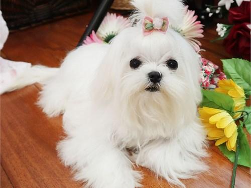 Micro Maltese girl Pixie