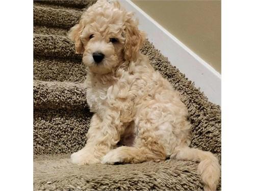 Mini Goldendoodle Cute