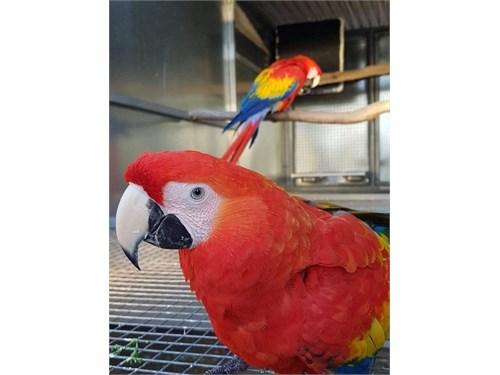 scarlet macaw birds