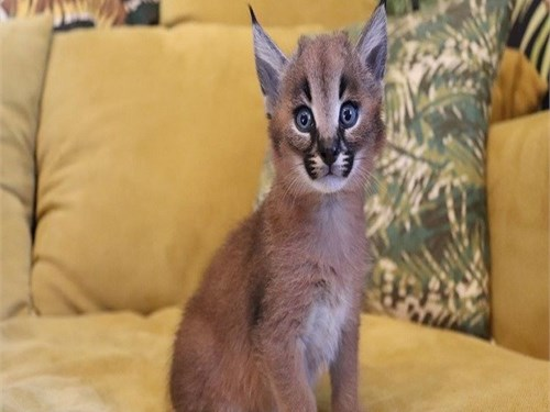 gorgeous caracal kittens
