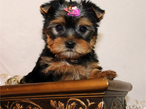 Yorkie girl Cheese