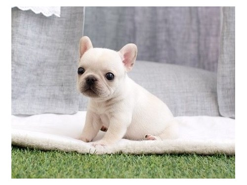 Cream French Bulldog Pups