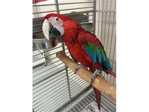 Lovely Green Wing Macaw