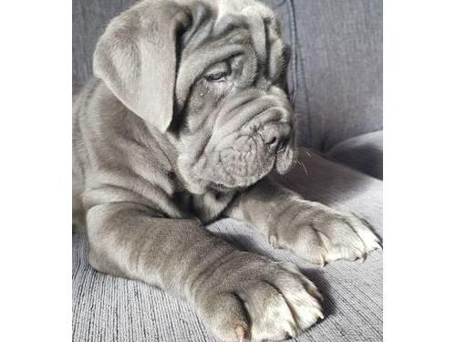Neapolitan Mastiff pupps
