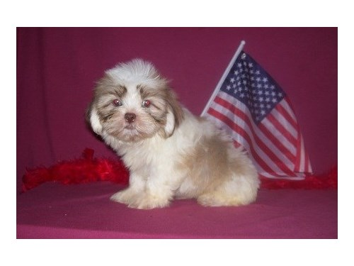 Lhasa Apso puppies