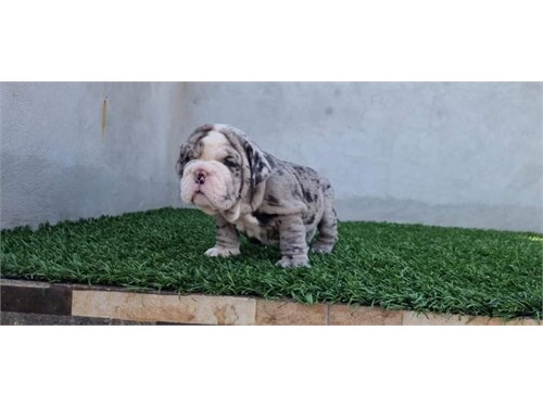 English bulldog for adopt