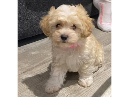 Adorable cavapoo pups
