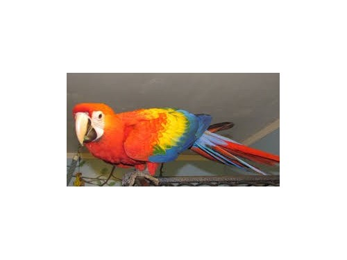 Available Scarlet Macaw